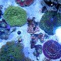 写真: 珊瑚。 各種、衣笠店に入荷...