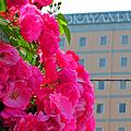 写真: 街中に咲く赤い薔薇 ☆