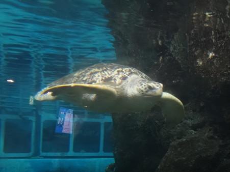 ウミガメ (1)