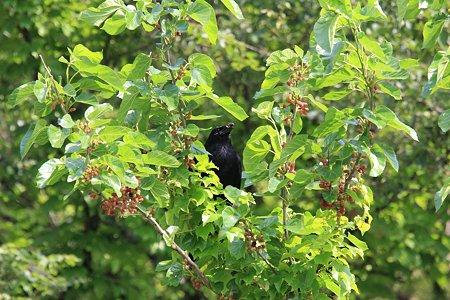 2012.05.26 和泉川 桑の木にカラス 啄む