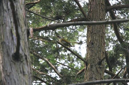 2010.05.15 追分市民の森 アオゲラ