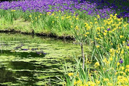 2010.05.17 和泉の森 しからしの池 アヤメ