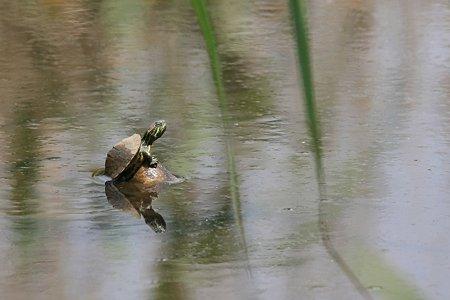 2010.06.07 大池公園 ミシシッピアカミミガメ