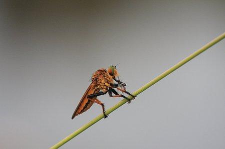 2010.07.22 和泉川 アオメアブ 羽蟻ゲット