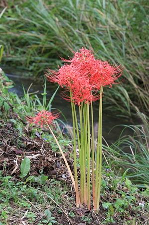 2010.09.29 和泉川 雨に耐えて曼珠沙華