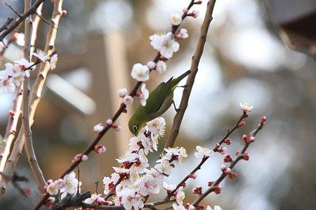 2011.03.16 和泉川 メジロ