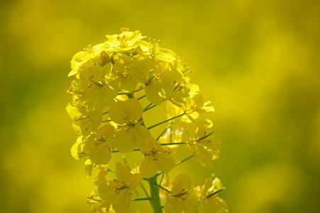 2011.03.25 浜離宮 菜の花畑