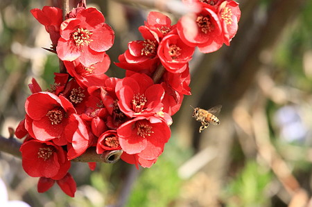 2011.03.29 和泉川 ボケにミツバチ