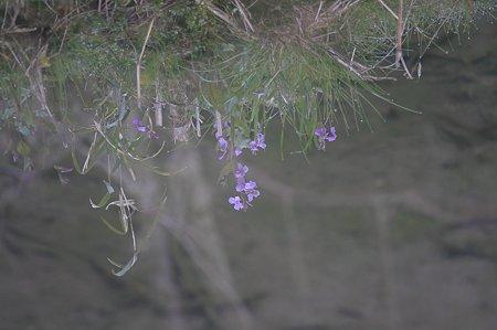 2011.04.02 和泉川 水面に映るハナダイコン