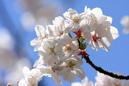 2011.04.13 和泉川 染井吉野