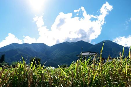 2011.09.18 長野県 駒ヶ根市 田圃 垂れる季節