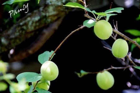 梅の実・・風待月の東慶寺・・2