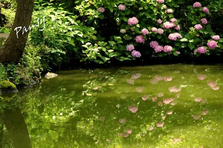 白鷺池(びゃくろち)に映る紫陽花・・
