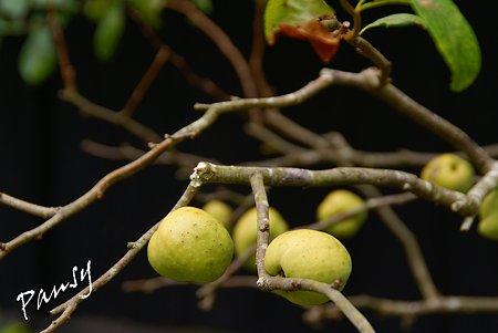 木瓜の実・・東慶寺