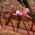 写真: 河津桜・・松田山 6
