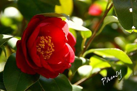 紅い椿・・