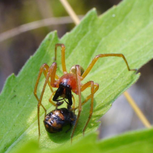 写真: テントウムシの蛹を襲うカバキコマチグモ