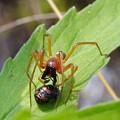 テントウムシの蛹を襲うカバキコマチグモ