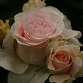 Photos: 薔薇の仲良し!(100529)