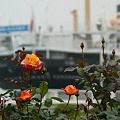 Photos: 春バラと氷川丸!(110602)