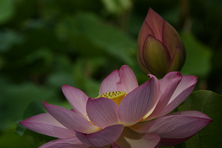 蓮の花と蕾!(110718)