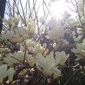 写真: いつの間にか桜も咲いてる、...