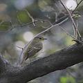 101107-3キビタキ幼鳥