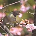 Photos: 110222-10河津桜とメジロ