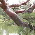 Photos: 110513-22栗林公園・夫婦松