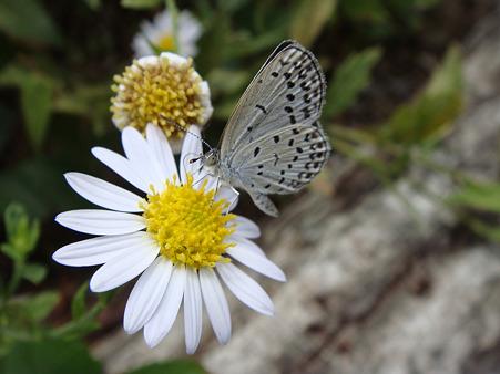 オオゴマダラと野菊