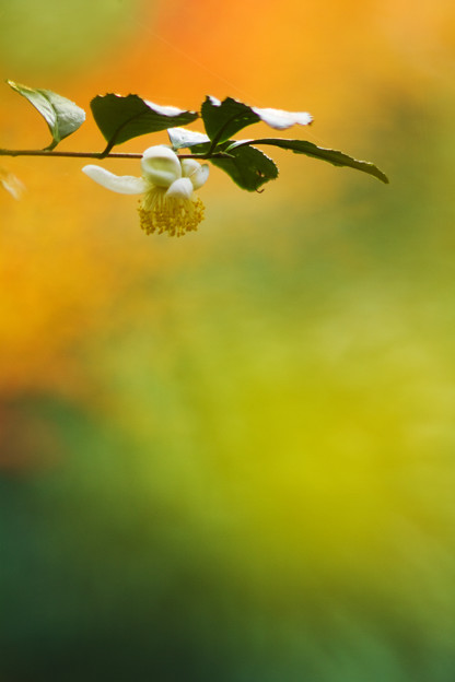 茶の木咲く