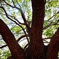 大樹緑陰~涼風渡夏~