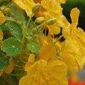 写真: 黄色いナスタチュームと滴