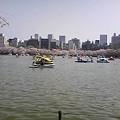 写真: 不忍池のボート乗り場めっちゃ混んでた。桜も綺麗