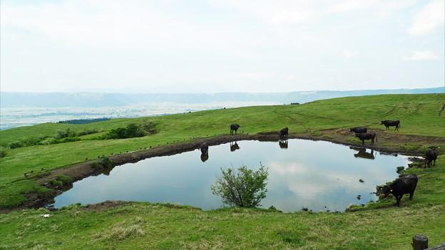 写真: 阿蘇の放牧風景(3)景色の良い所で美味しい草食べてます