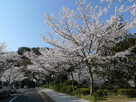 めかり公園の桜(1)