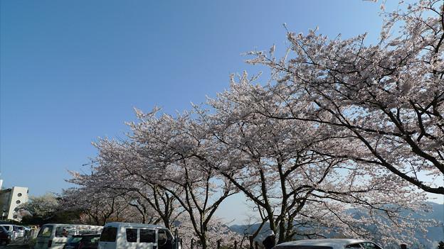 めかり公園の桜(8)