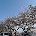 Photos: めかり公園の桜(8)