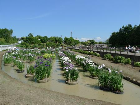 みやこ町豊津運動公園内の花菖蒲公園(6)
