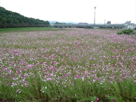 水城跡(1)コスモス畑