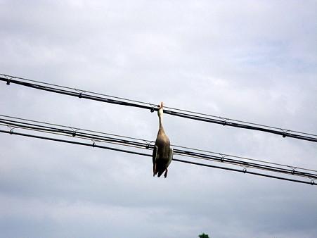 鴨が引っかかった