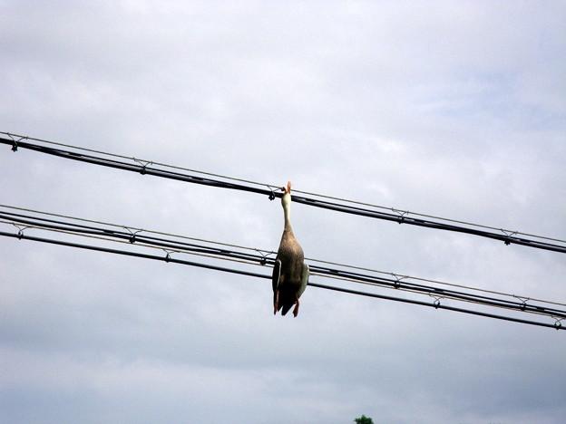 Photos: 鴨が引っかかった