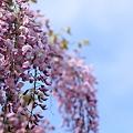 青空とピンクの藤