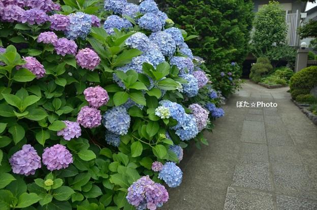 妙雲寺参道に咲く