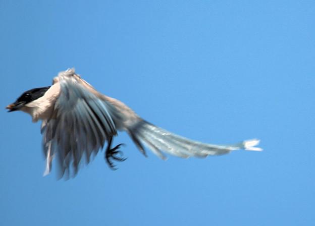 Photos: オナガ飛びます2