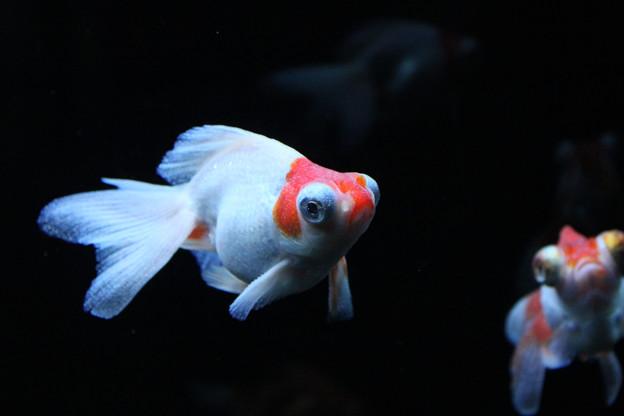 金魚【神戸大丸アクアリウム展】