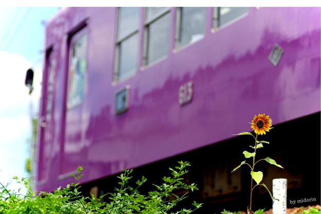 向日葵と京紫