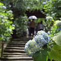 写真: 明月院の紫陽花 02
