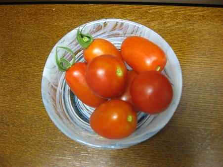 今年のトマト初収穫