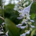 薄紫オオバギボウシ2